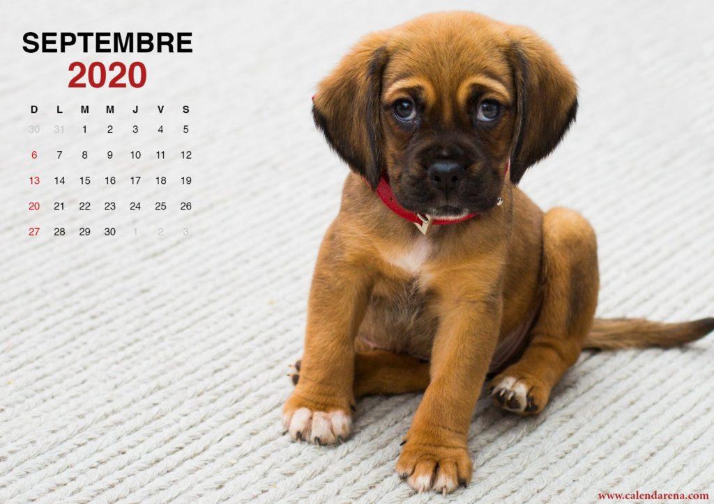 calendrier septembre 2020 petit chiot