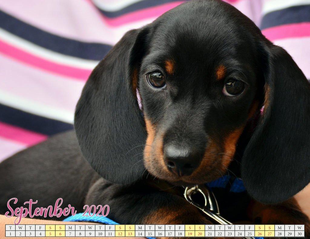 september 2020 calendar with puppies3