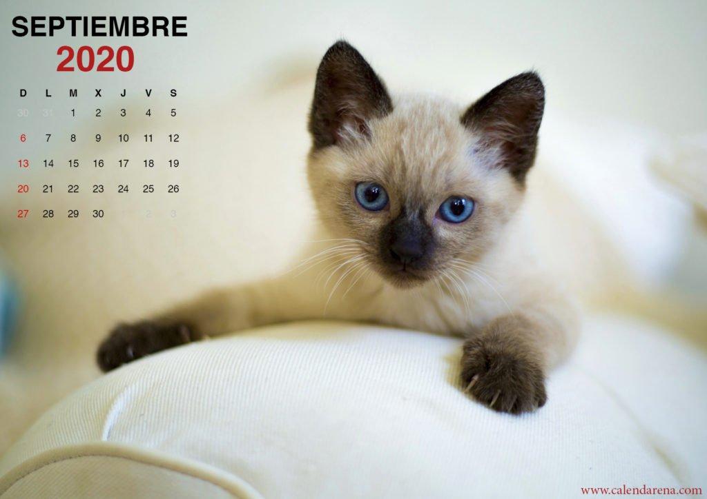 wallpaper de gatito para el calendario de septiembre de 2020_2